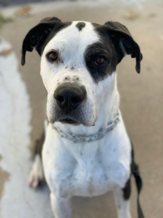Pluto- Four-Year-Old Dane Mix 3