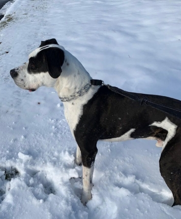 Pluto- Four-Year-Old Dane Mix
