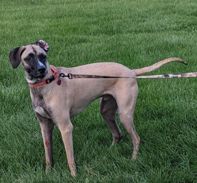 Cozmo- One-year-old Dane mix
